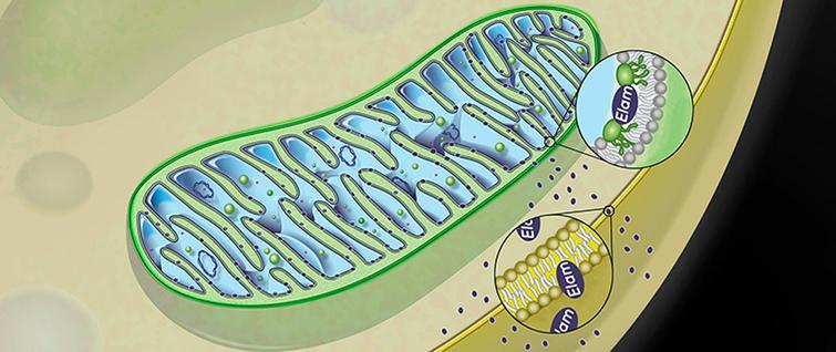 Schematic of Elamipretide's penetration of mitochondrial membrane. Source: Stealth BioTherapeutics.