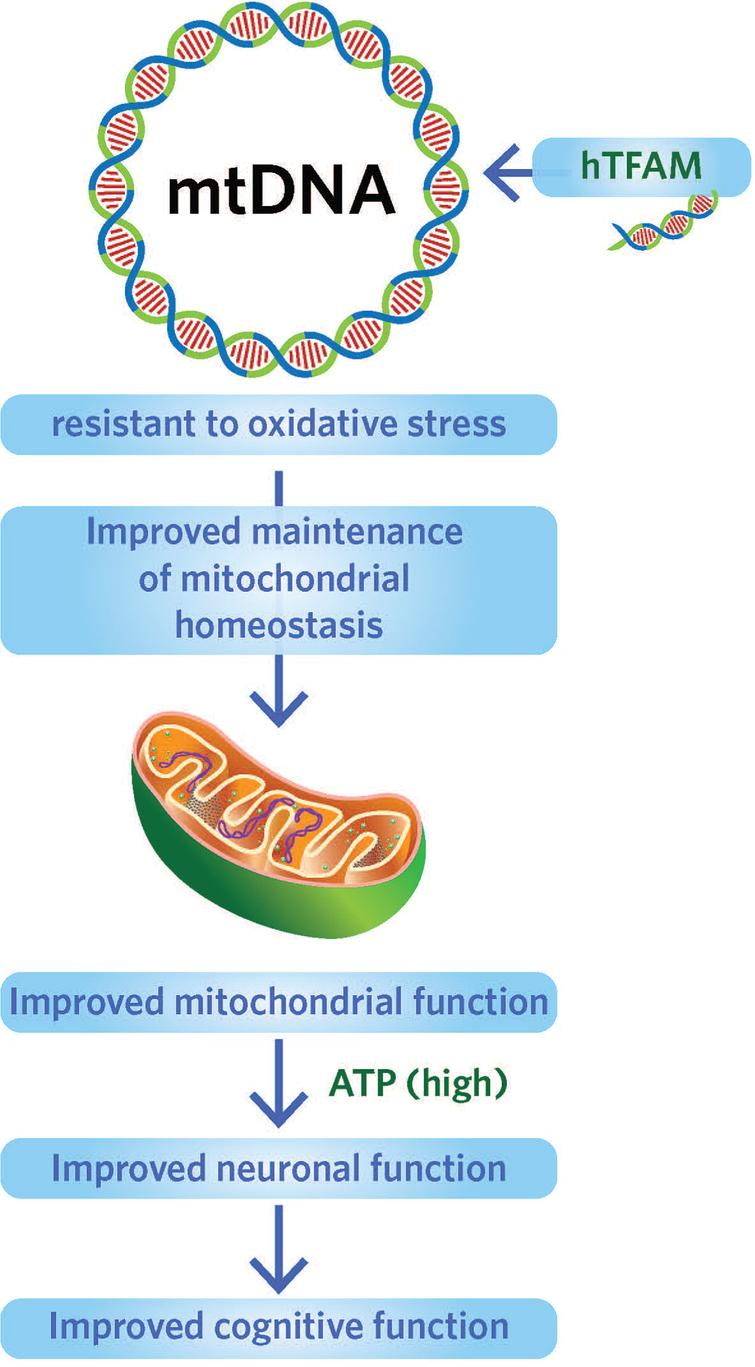 Targeting human mitochondrial transcription factor to protect mtDNA from oxidative stress. Source: Foundation for Mitochondrial Medicine.