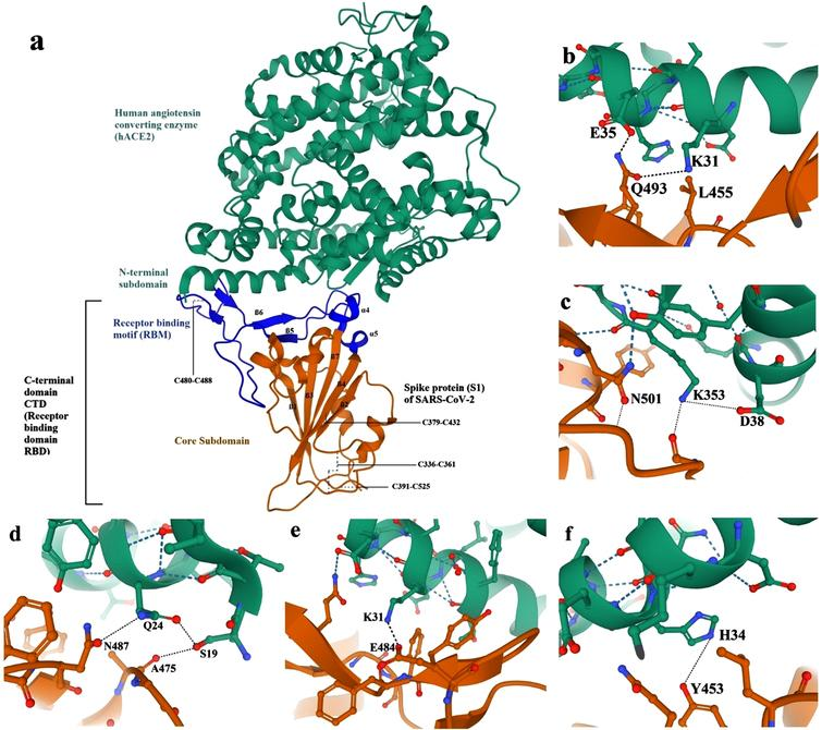 SARS-CoV-2/hACE2 structure and detailed binding: a. Overall SARS-CoV-2/hACE2 complex monomer. (b, c, d, e, and f) detailed structure of SARS-CoV-2 binding to human ACE2 receptor [76]. Human angiotensin converting enzyme (hACE2) in green, spike protein (S1) of SARS-CoV-2 core subdomain in orange, and spike protein (S1) of SARS-CoV-2 receptor binding motif (RBM) in blue.