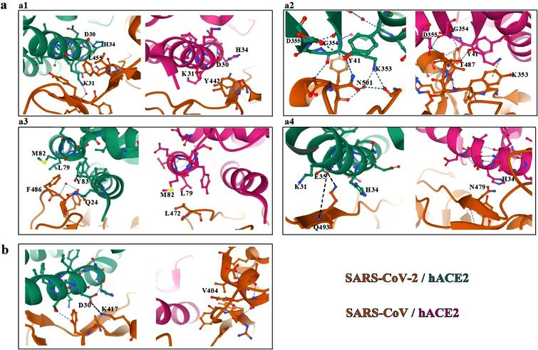 Comparison between SARS-CoV-2 and SARS-CoV binding hACE2 receptor. a. Interactions within the RBM of SARS-CoV-2 and SARS-CoV with hACE2 receptor. b. Variations in the K417/V404 position [76, 120].